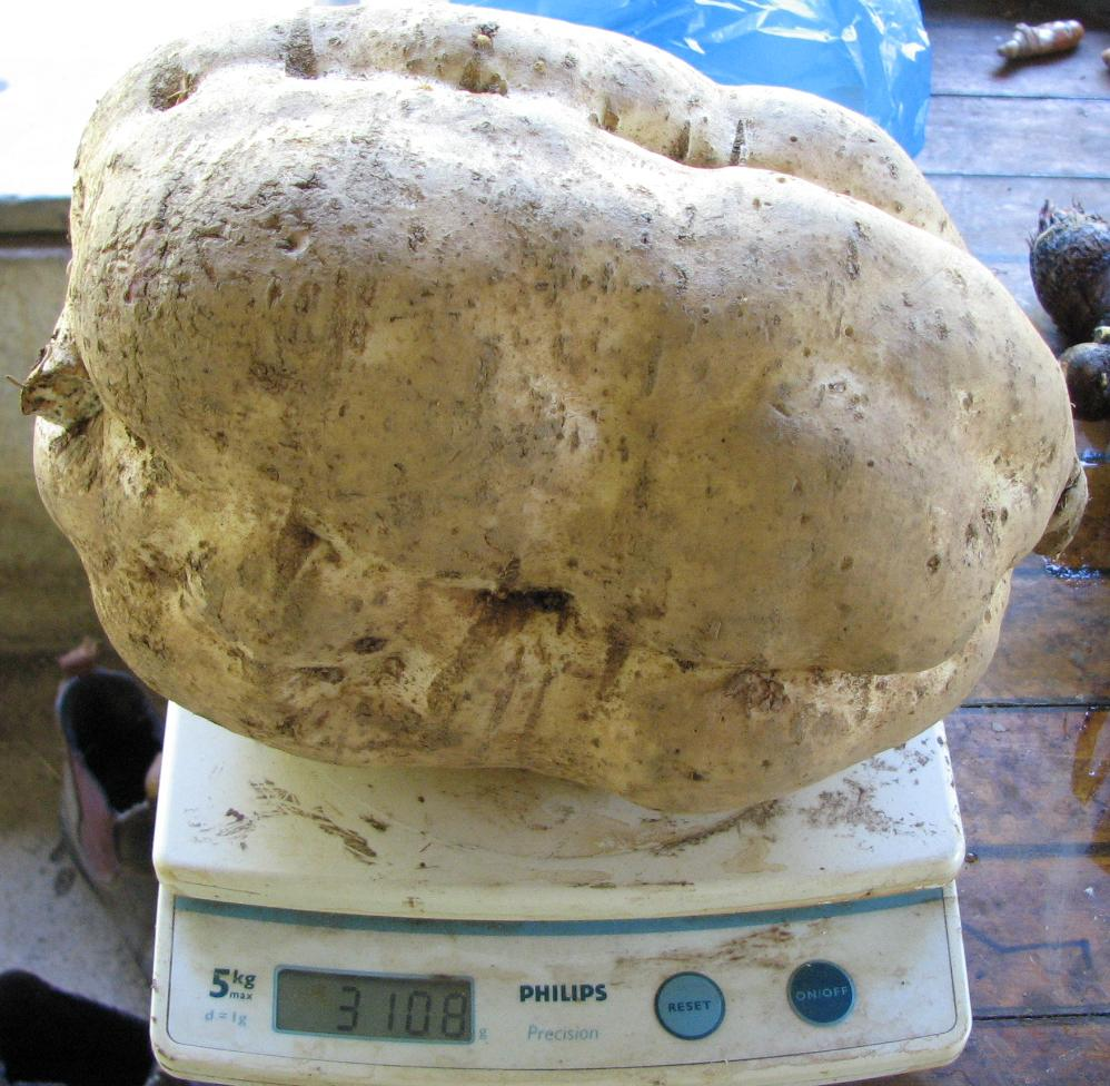 3kg Sweet Potato from our Permaculture garden
