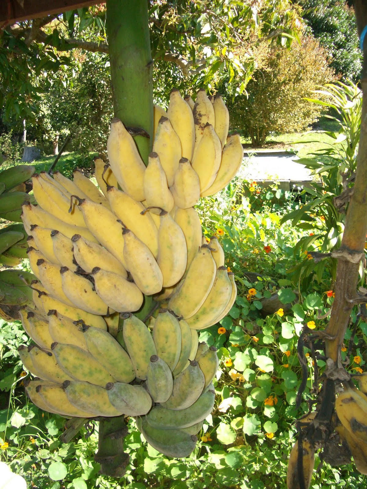 Improving our self sufficiency by growing bananas in abundance in our permaculture garden.
