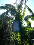 Banana tree with a covered bunch