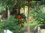 King parrot stealing our bananas ;)