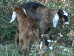 Newborn goats, just standing, about 1 hour old