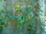 Our choko vine, growing up the water tank