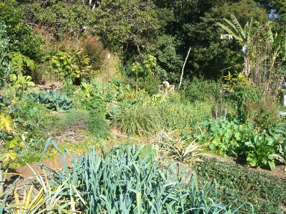 Our abundant garden, pineapple, leeks, spring onions, strawberry beds, greens, broccoli and numerous other edible plants visible in this picture