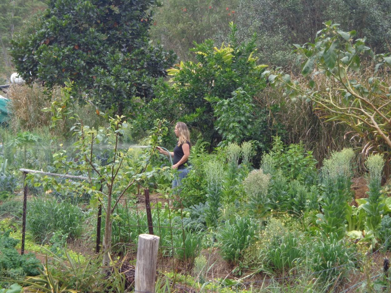Spraying Bio-fertiliser in the vegie garden