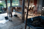 The cows getting fed in the morning, after Tom has collected their manure (see wheel barrow on right)