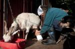 Tom milks the goat whilst she is eating breakfast