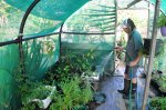 Watering the seedlings in the poly tunnel