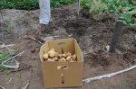 A big potato harvest