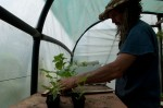 Potting seeds and looking after seedlings in the polytunnel, and getting some seedlings for planting