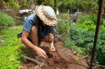 Planting bean seedlings