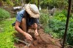 Planting bean seedlings