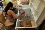 Wwoofer Lucia sorting the potatoes in the root cellar