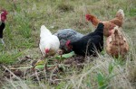 The chooks love the arrowroot too