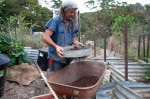 Sifting the compost for adding to the seedlings