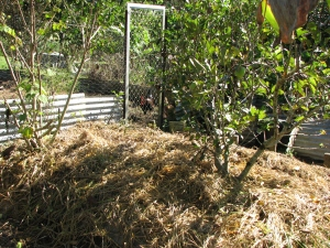 Mulched bed with tropical apple tree