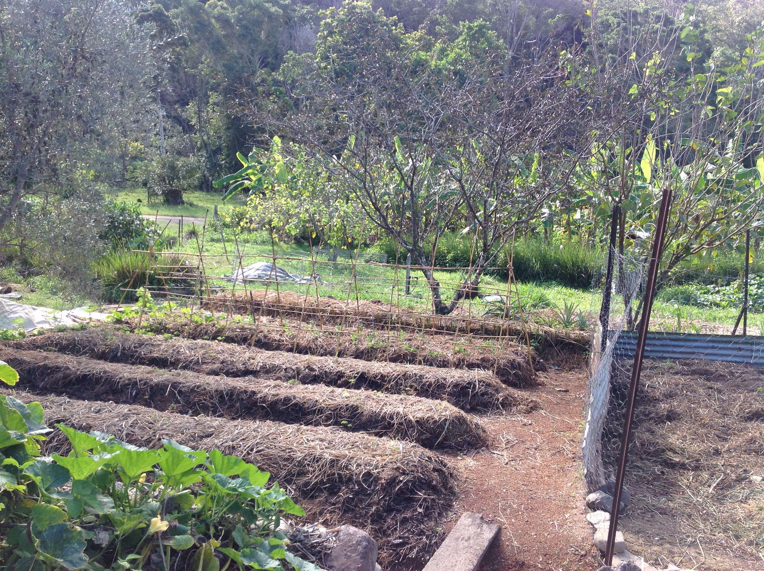 Backyard Permaculture Gardening Australia : garden beds, with sight of the Food Forest behind At the Permaculture