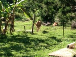 "Cows in the paddock at the Permaculture Research Institute ""Maungaraeeda"", Sunshine Coast."