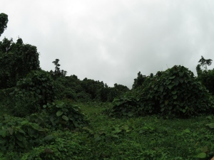 Clearing at the Permaculture Research Institute Luganville site