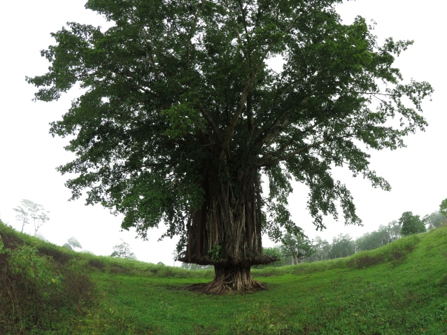 On the way back from the Permaculture Research Institute Luganville site we saw a beautiful Banyan tree