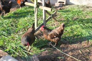 Foraging chickens at Maungaraeeda, home of Tom Kendall and the PRI Sunshine Coast