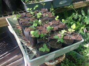 Transplanted eggplant and zucchini seedlings at Maunagareeda