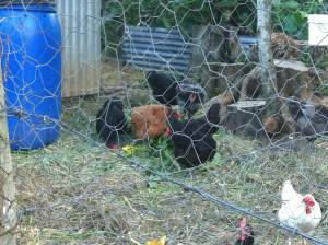 The chickens are getting into their forage at Maungaraeeda