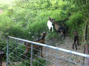 The goats are let out into their paddock at Maungaraeeda