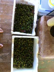 At Maungaraeeda, a permaculture farm on the Sunshine Coast, Queensland, Australia we harvested macadamias today