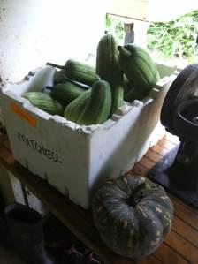 Harvesting at Maungaraeeda, loofahs and pumpkin on the Sunshine Coast