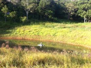Cow paddocks at the dam at Maungaraeeda, Sunshine Coast