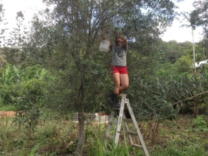 Olive picking at Maungaraeeda, Permaculture Research Institute Sunshine Coast