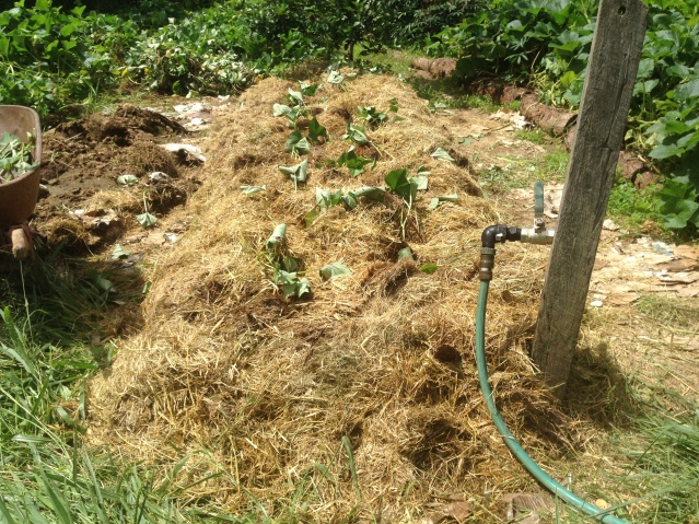 Tom Kendall plants sweet potato cuttings at Maungaraeeda.