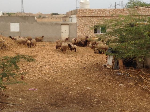 Tom Kendall observes sheep in Jordan.