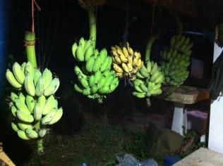 Banana harvest!