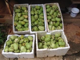 5 boxes of chokos, a total of 75 kilos!