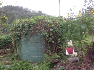Choko vine on the rain water tank