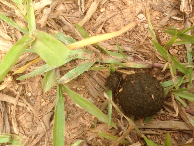 Tom Kendall finds a ball rolling dung beetle at Maungaraeeda.