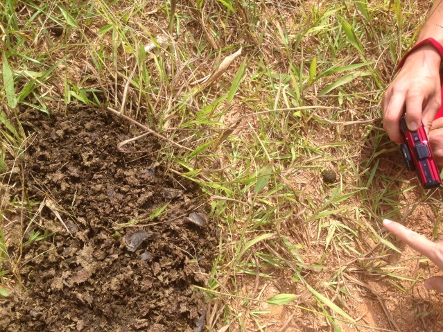 Tom Kendall finds ball rolling dung beetles at maungaraeeda.