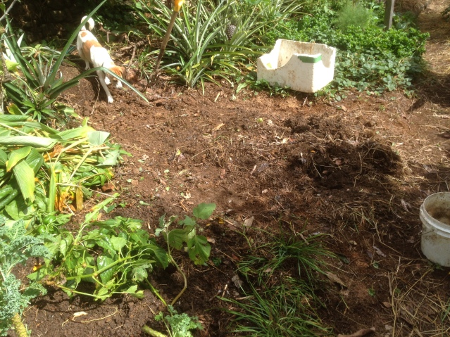 Tom Kendall prepares a garden bed for strawberries at Maungaraeeda.