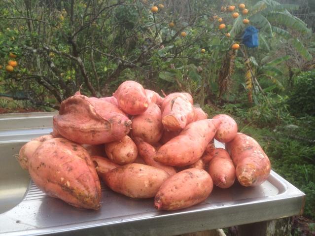 Tom Kendall harvests sweet potato at Maungaraeeda.