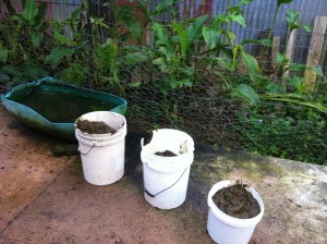 Cow manure for the biodigester at Maungaraeeda, PRI Sunshine Coast