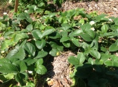 Flowering strawberries in a permaculture garden, diy food and health
