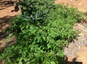 Tomatoes and kale in a garden bed, diy food and health