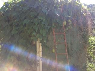 Choko vine on the rain water tank, diy food and health