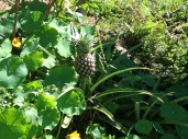 Pineapple in the permaculture garden, diy food and health