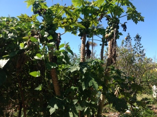 Paw paw or papaya ripening on the tree in the permaculture garden at Maungaraeeda, diy food and health