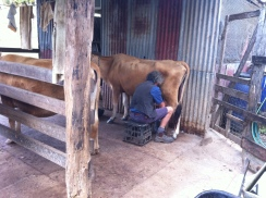 Tom milking the cows