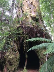 Cave tree in Tassie